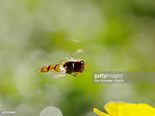 Close-Up Of Hoverfly Flying