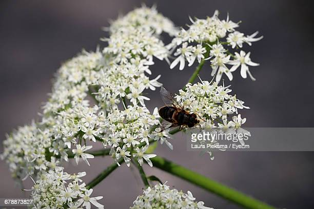 Close-Up Of Hoverfly On Cow Parsnip