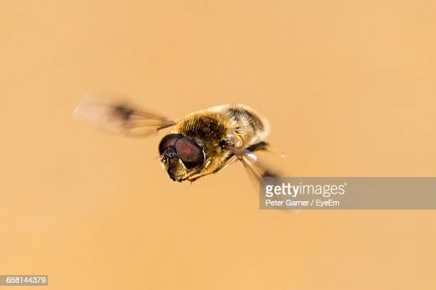Close-Up Of Hoverfly