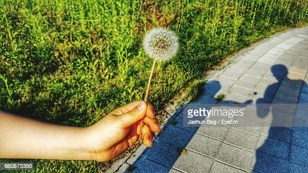 close-up of human hand holding dandelion - bucheon stock pictures, royalty-free photos & images