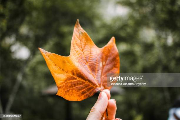 Close-Up Of Human Hand Holding Maple Leaf During Autumn