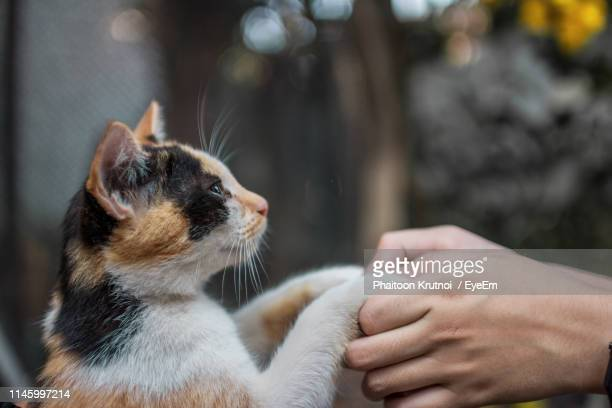 close-up of human hands holding cat paw - paw stock pictures, royalty-free photos & images