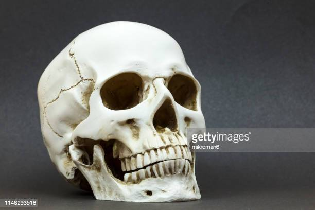close-up of human skull against black background - human skull stock pictures, royalty-free photos & images