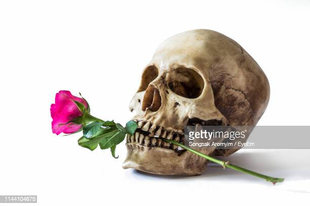 close-up of human skull with pine rose over against white background - human skull stock pictures, royalty-free photos & images
