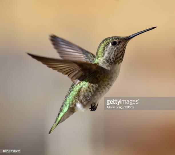 close-up of hummingannas hummingbird flying outdoors - anna's hummingbird stock pictures, royalty-free photos & images