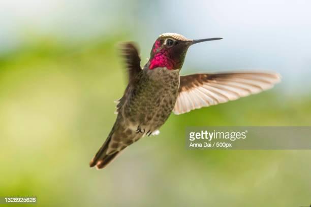 close-up of hummingannas hummingbird flying outdoors,portland,oregon,united states,usa - anna's hummingbird stock pictures, royalty-free photos & images