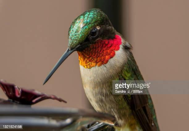 close-up of hummingannas hummingbird perching on branch - anna's hummingbird stock pictures, royalty-free photos & images