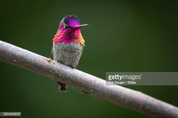 close-up of hummingannas hummingbird perching on branch,united states,usa - anna's hummingbird stock pictures, royalty-free photos & images