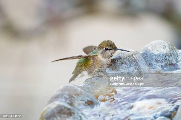 close-up of hummingannas hummingbird perching on rock,la honda,california,united states,usa - anna's hummingbird stock pictures, royalty-free photos & images