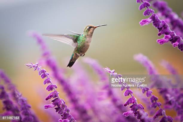 Close-Up Of Hummingbird Flying Over Purple Flowering Plants