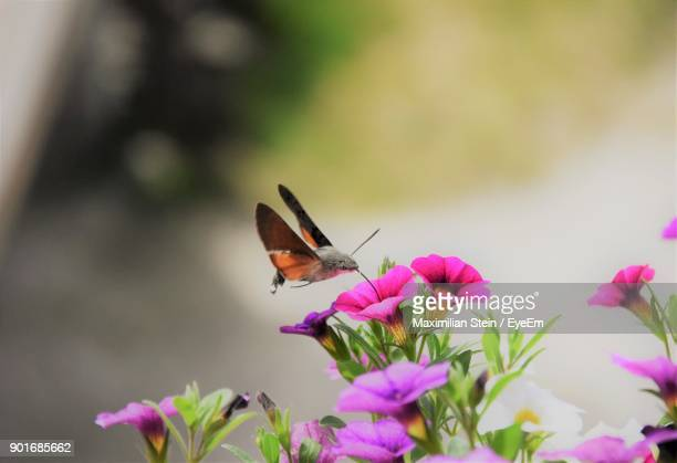 Close-Up Of Hummingbird Hawkmoth Pollinating On Pink Flower