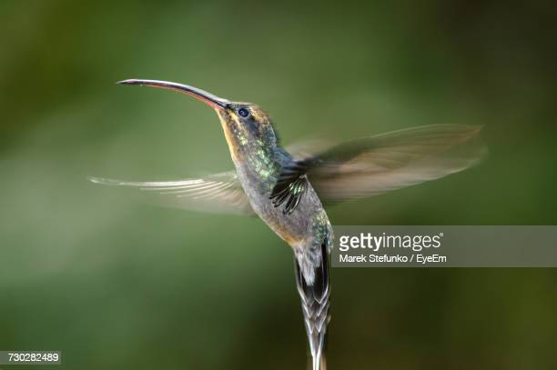 close-up of hummingbird in flight - marek stefunko stock photos and pictures