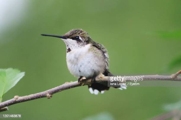 close-up of hummingbird  perching on branch - beak stock pictures, royalty-free photos & images
