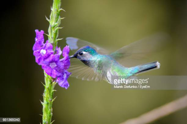 close-up of hummingbird pollinating purple flowers - marek stefunko stock pictures, royalty-free photos & images