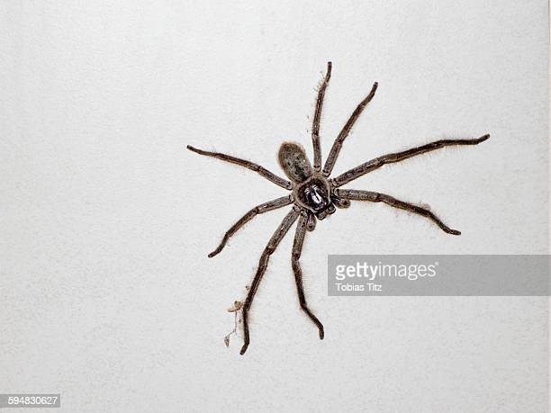 close-up of huntsman spider on white wall - huntsman spider stock pictures, royalty-free photos & images