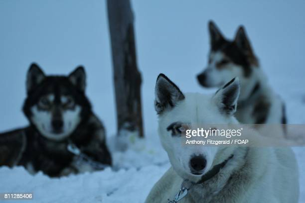 Close-up of huskies in the snow