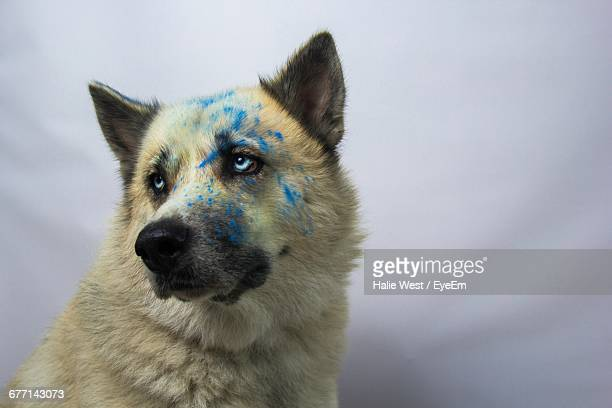 Close-Up Of Husky Dog With Powder Paint Against Gray Background
