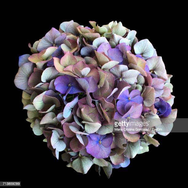 Close-Up Of Hydrangea Bunch Against Black Background