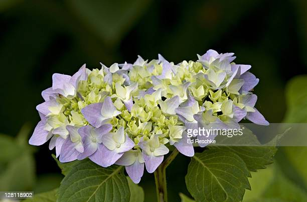 closeup of hydrangea flower cluster, hydrangea sp., palo alto, california, usa. flower clusters contain tiny fertile flowers (yellow-green), and showy sterile ones (lavender). - ed reschke photography stock photos and pictures