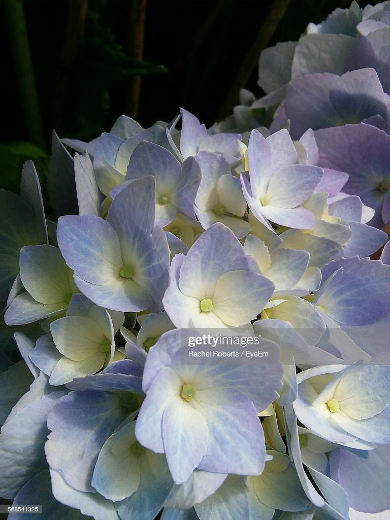 Close-Up Of Hydrangea Flowers In Park : Stock Photo
