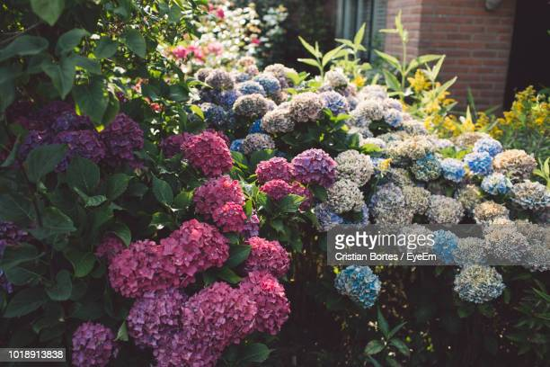 close-up of hydrangea flowers - bortes stock pictures, royalty-free photos & images