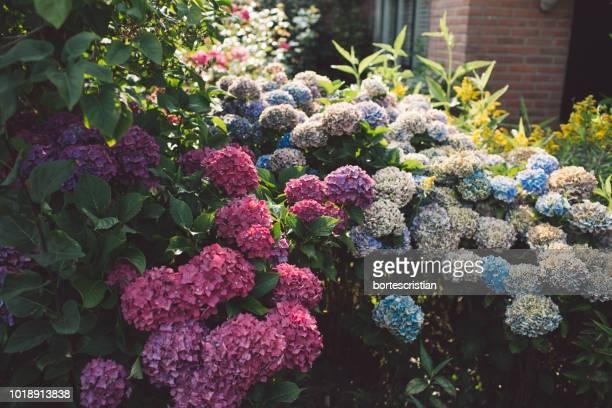 close-up of hydrangea flowers - bortes foto e immagini stock