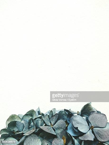 Close-Up Of Hydrangeas Against White Background
