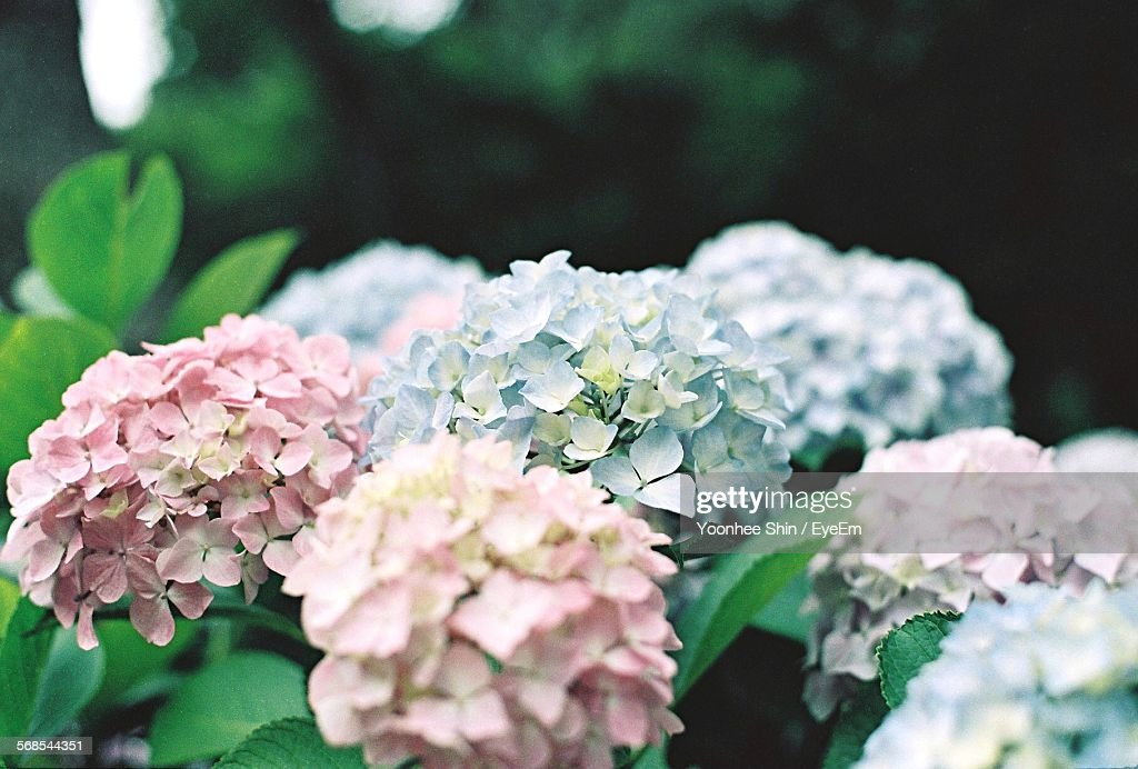 Close-Up Of Hydrangeas Growing In Park : Stock Photo