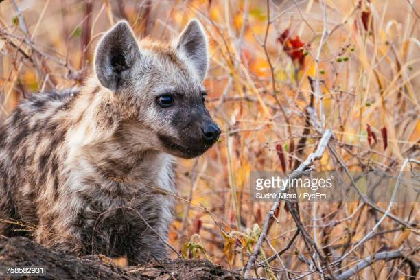 close-up of hyena on field - hyena stock pictures, royalty-free photos & images
