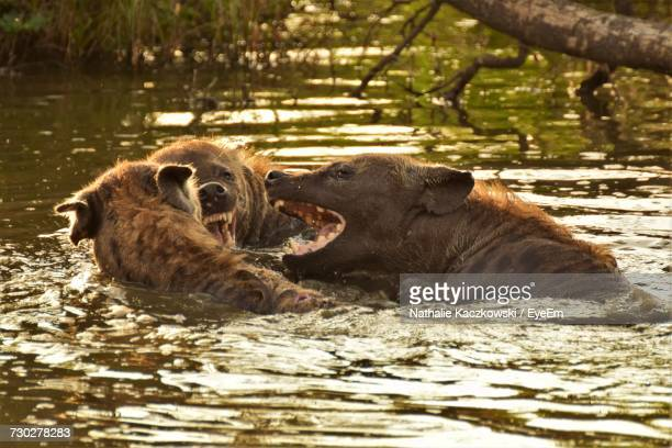 close-up of hyenas in lake - hyena stock pictures, royalty-free photos & images
