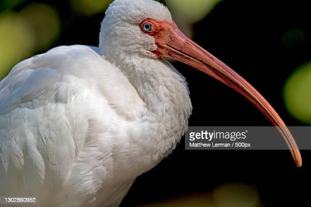 close-up of ibis perching outdoors,wakodahatchee wetlands,united states,usa - usa - fotografias e filmes do acervo