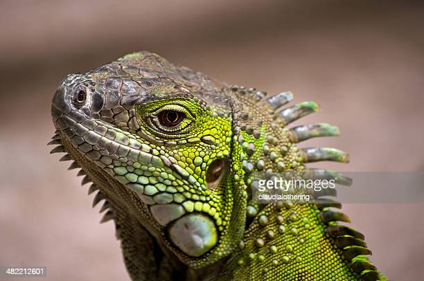 Close-up of iguana lizard, Western Cape, South Africa
