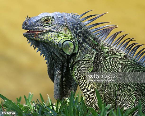 Close-Up Of Iguana On Field