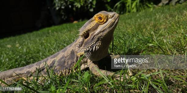 close-up of iguana on grassy land - land iguana stock photos and pictures