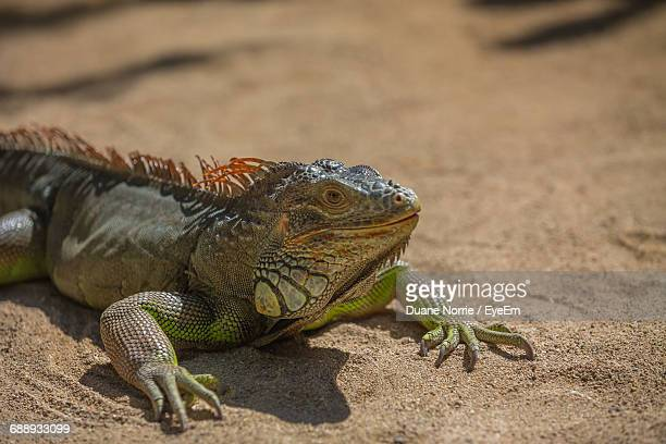 close-up of iguana on ground - iguana family stock photos and pictures
