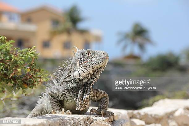Close-Up Of Iguana On Rock
