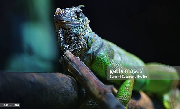 Close-Up Of Iguana On Tree