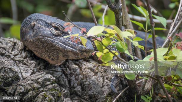 close-up of iguana on tree - iguana family stock photos and pictures