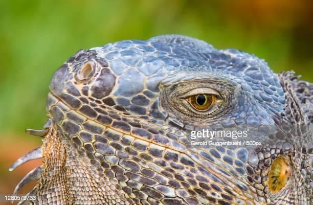 close-up of iguana,n roosevelt blvd,united states,usa - gerold guggenbuehl stock-fotos und bilder