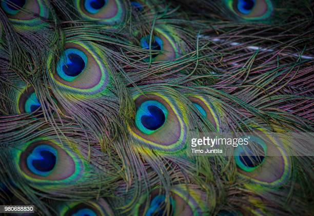 close-up of indian peacock tail - peacock stock pictures, royalty-free photos & images