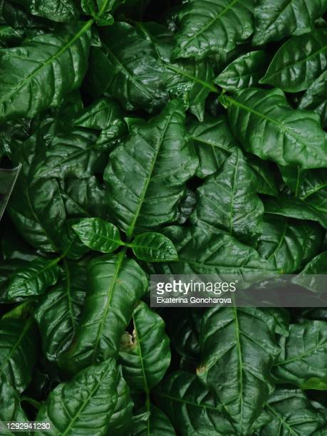 close-up of indoor plants gardenia jasminoides. top view. background - emerald green stock pictures, royalty-free photos & images