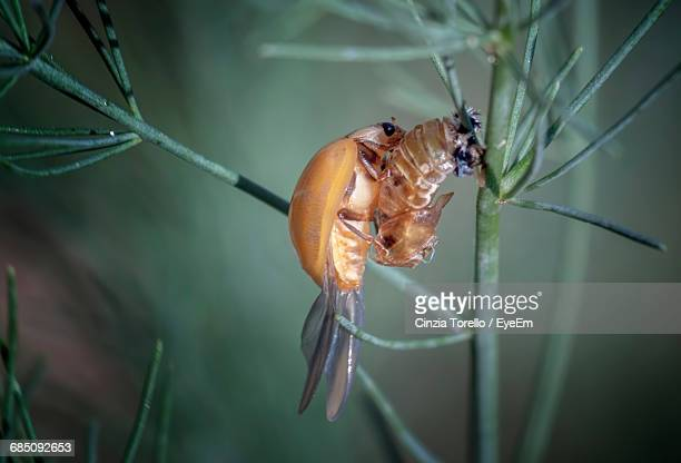 close-up of insect moulting its skin - arthropod stock pictures, royalty-free photos & images