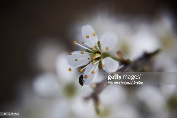 close-up of insect on apple blossom - anfang stock pictures, royalty-free photos & images
