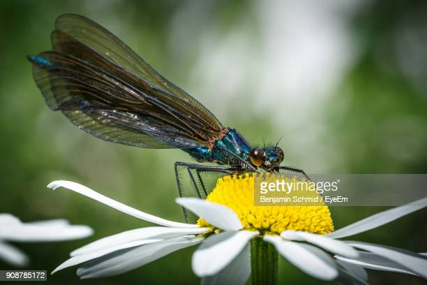 close-up of insect on flower - dragonfly stock-fotos und bilder