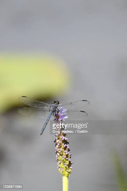 close-up of insect on purple flower - greg nadeau stock pictures, royalty-free photos & images