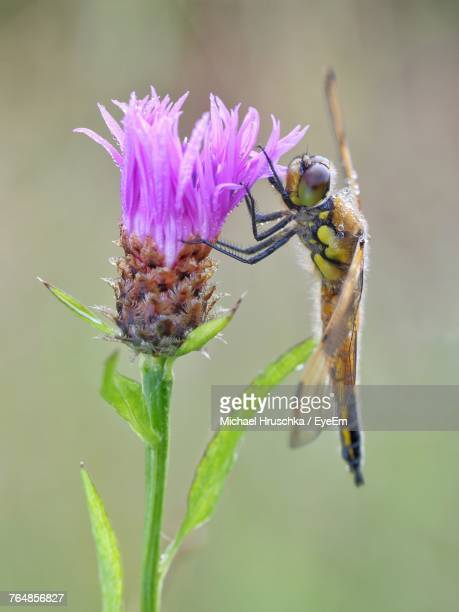 close-up of insect on thistle - michael hruschka stock-fotos und bilder