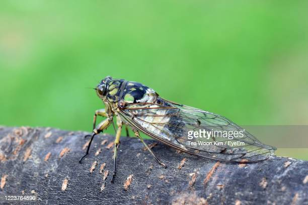 close-up of insect on tree - cicala foto e immagini stock