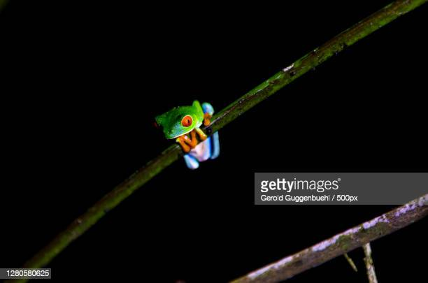 close-up of insect on twig against black background,provinz alajuela,la fortuna,costa rica - gerold guggenbuehl stock-fotos und bilder