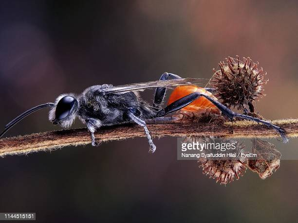 close-up of insect on twig - hilal stock photos and pictures
