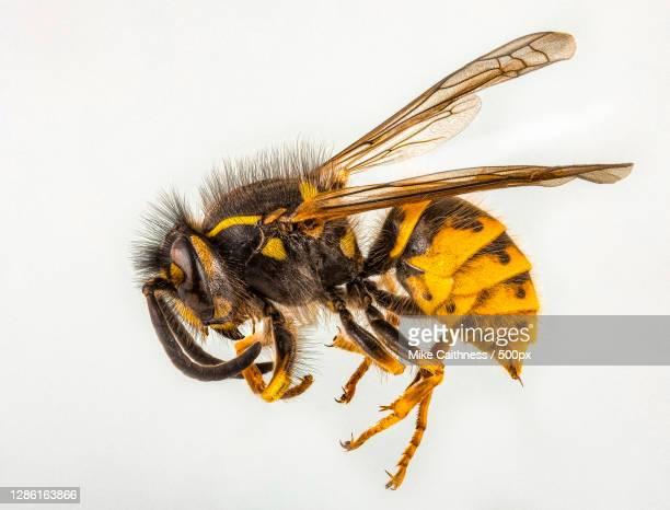 close-up of insect on white background,edinburgh,united kingdom,uk - plain background stock pictures, royalty-free photos & images